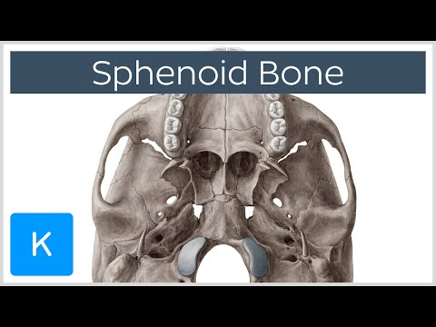Sphenoid Bone - Anatomy, Function and Definition - Human Anatomy | Kenhub