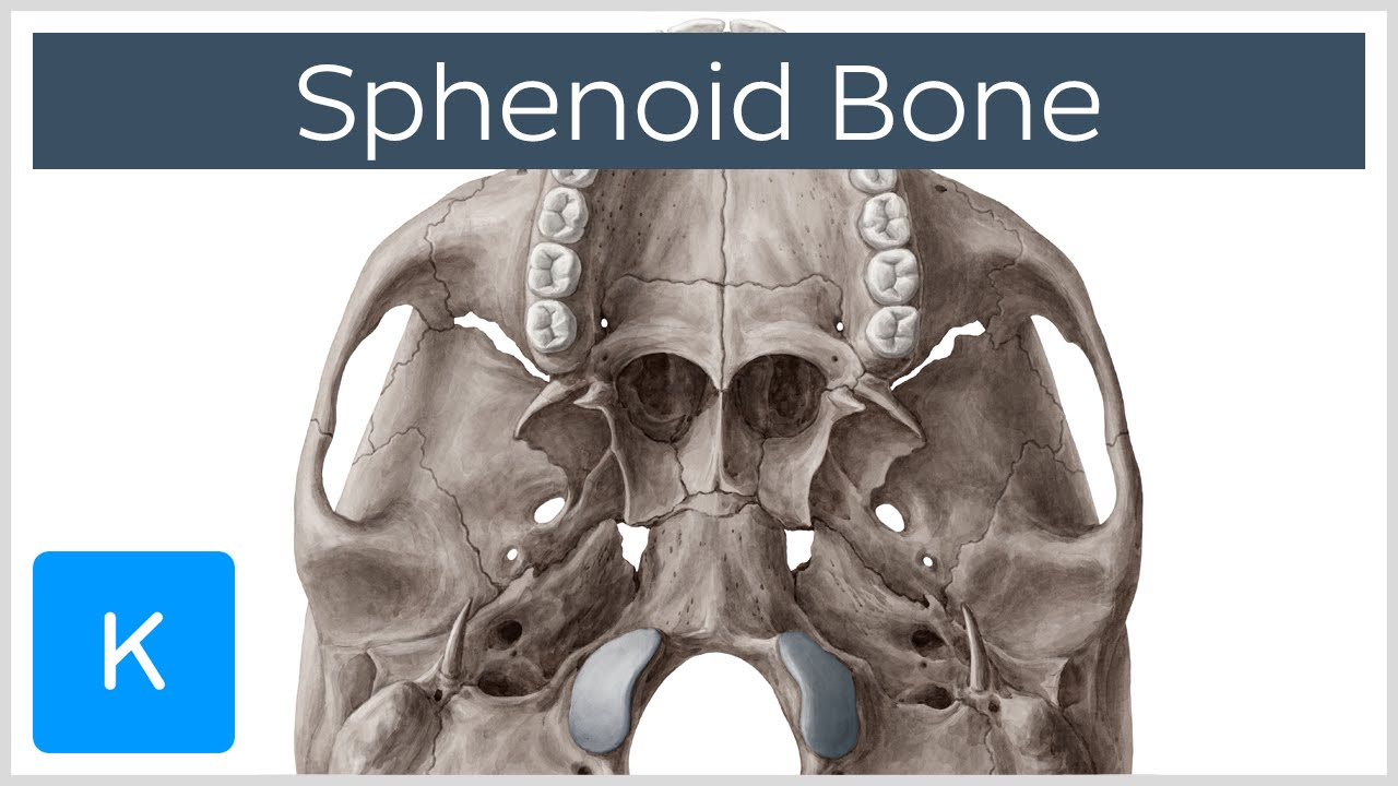 sphenoid bone - anatomy, function and definition - human anatomy, Human Body