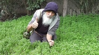 Learning to Identify Chickweed (Stellaria media)╭❧