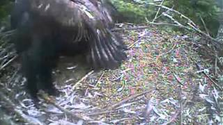 Humboldt Bay eagles,dad comes to nest and whole lot of squeeeeeing lol,8/8/13
