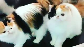 Latest video Persian kitten for sale my contact number 9990 292 086