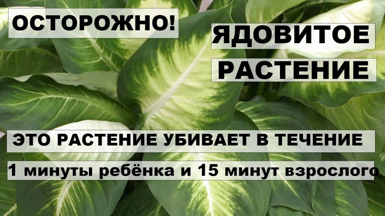 ЯДОВИТОЕ РАСТЕНИЕ   ДИФФЕНБАХИЯ. Это растение убивает ребёнка в течение 1 минуты