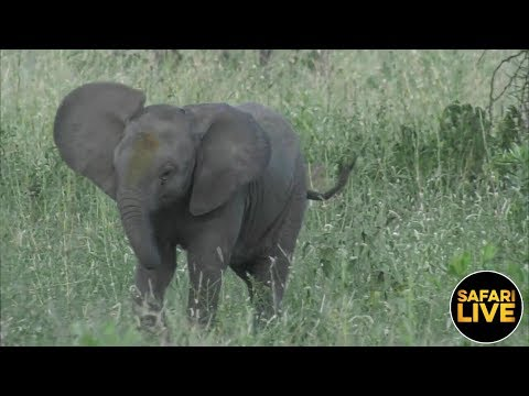 safariLIVE - Sunset Safari - February 12, 2019