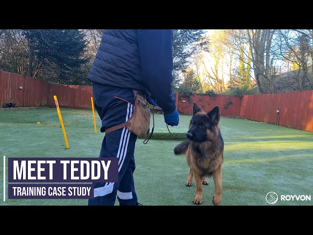 Focus and recall training for a German Shepherd