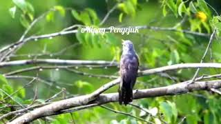 Burung Tutit tutit Menyeramkan Saat Berkicau