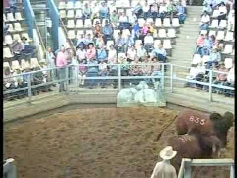 ROCKHAMPTON BRAHMAN WEEK 2008 LIVE WEBCAST LOT834
