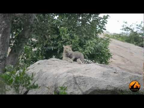 Leopard Mother And Cub - 11 January 2013 - Latest Sightings