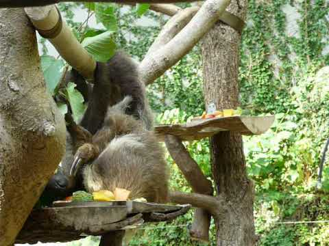 A pair of eating  Linne's two-toed sloths