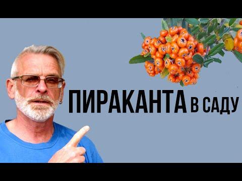 ПИРАКАНТА неприхотливый кустарник / Посадка и уход / Игорь Билевич