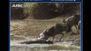 watch a nile crocodile killing wild scenes