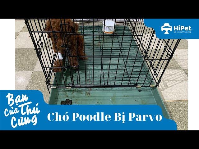 Chó Poodle Hết Parvo - HiPet