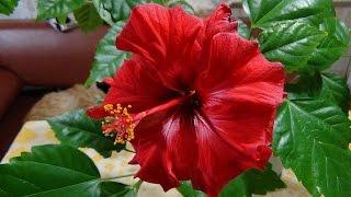 Китайская роза или гибискус. Chinese hibiscus.(Гибискус китайский или китайская роза замечательное, красивое комнатное или оранжерейное растение., 2014-12-20T22:19:23.000Z)