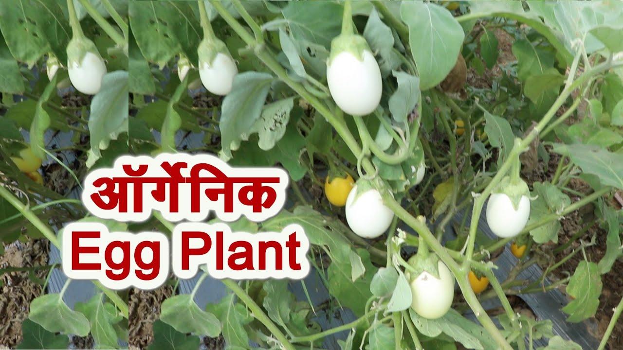 ऑर्गेनिक एग प्लांट, किचन गार्डन या खेत में लगाएं # Organic Vegetables Farming # Kitchen Gardening