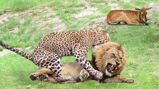 True King of Jungle! Lion Save Baby Grant's Gazelle From Five Cheetah Hunting | Snow Goose vs Fox
