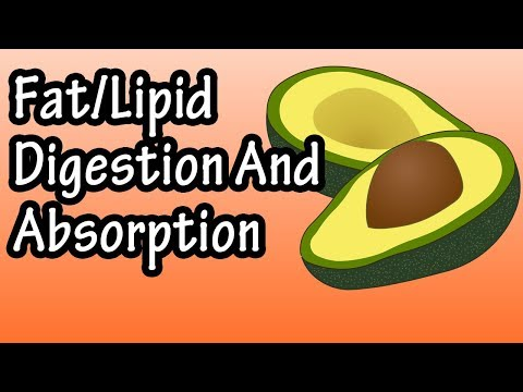 Fat Lipid Digestion And Absorption How Are Fats Lipids Digested And Absorbed