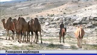 Пенсионер из Мангистауской области занялся разведением верблюдов