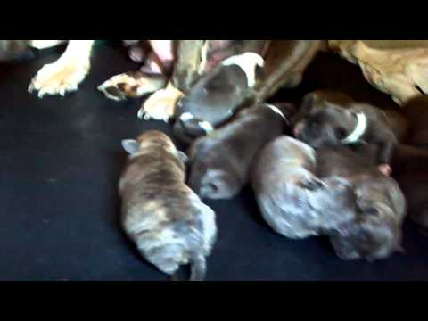 BLUE AMSTAFF BULLY PUPPIES FOR SALE