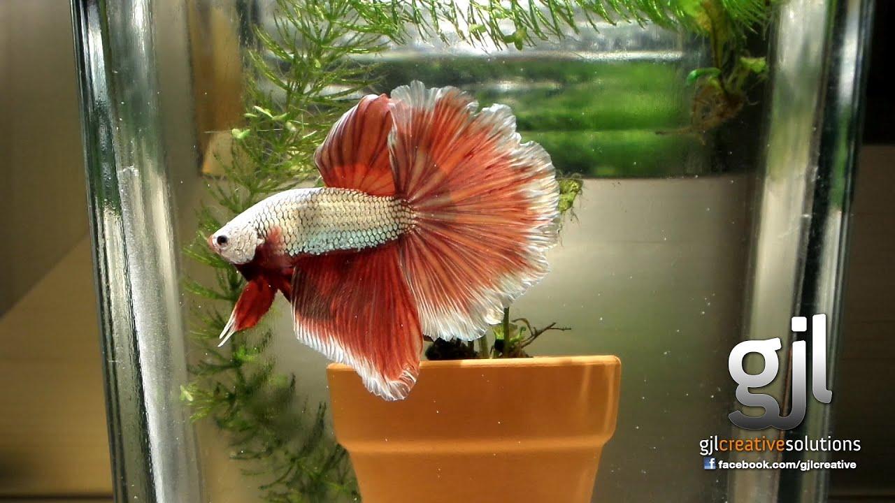 Betta splendens siamese fighting fish most beautiful for Why do betta fish fight