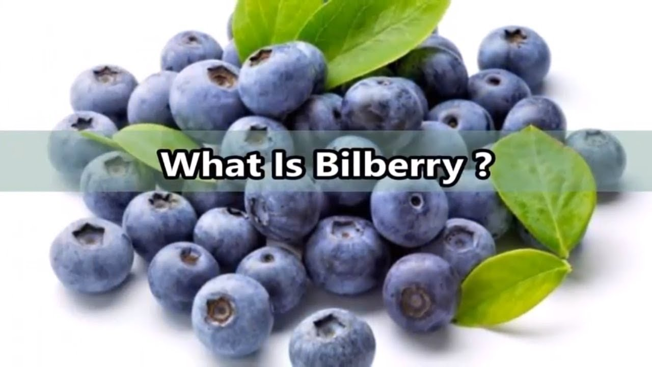 what is bilberry health benefits of bilberry vaccinium myrtillus