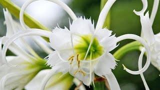 видео Маленькая хитрость: чтобы цветы в доме цвели пышно и долго!