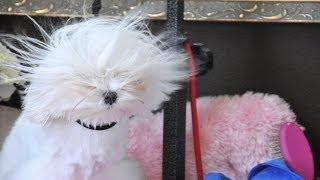 Maltese Grooming ~dolce Is A  Kool Pup:   Dog Drying Tutorial  'groom At Home Series' Gopro Hero3+