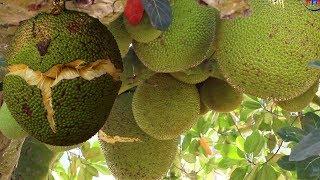 RIPE JACK FRUIT How to Cut up From Jack Fruit Tree | Health Benefits of Ripe Jackfruits