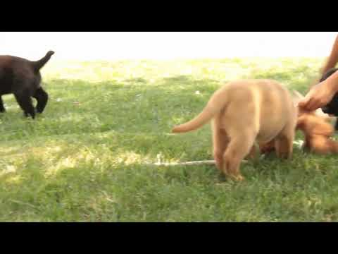 Black and Fox Red English Lab Puppies For Sale John Lapp
