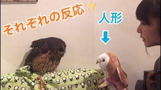 メンフクロウ  そっくりな人形!フクロウたちは仲間だと思う?