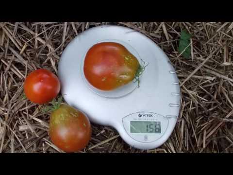Сорт томата Трюфель черный