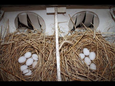 Вопрос: Как научить кошку таскать яйца из соседского курятника?