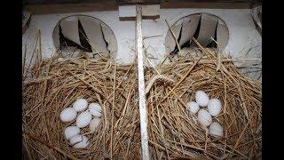 Приучаем курицу несушку нестись в гнездо.