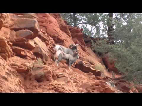 Bighorn Sheep in the Colorado Rocky Mountains