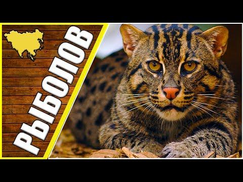 Кот способный убить леопарда, животные Азии, виверровый кот рыболов