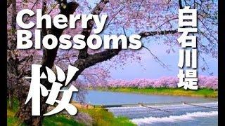 [HD]宮城・白石川堤一目千本桜(sakura)Cherry blossom 花の名所案内 thumbnail