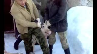 Депортация свиней к новому месту содержания