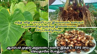 Terrace Garden || Seppankizhanku Cultivation || Sowing To Harvest || Complete guide ||Colocasia,Taro