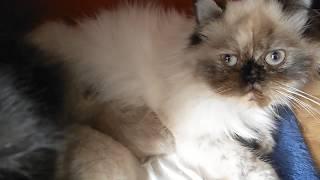 Персидские котята Пополнение