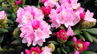 Best Garden Shrubs, Rhododendron Kalinka