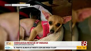 Pet Pals TV: Chihuahua Rescue of Indiana