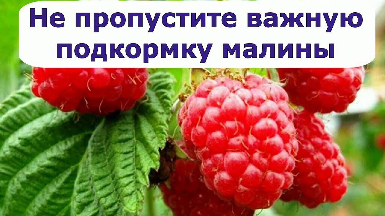 477  Не пропустите важную подкормку малины