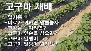 고구마 재배/밑거름/비료가 과하면 넝쿨농사/고구마 보식…