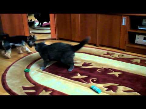 Йоркширский терьер против британского кота!