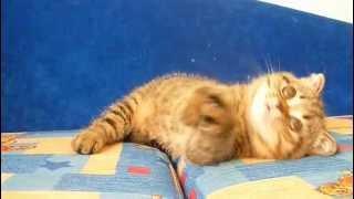 Купить тигрового вислоухого котенка в питомнике