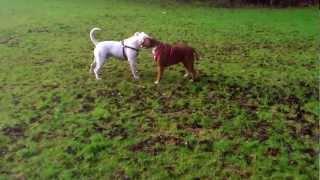 American Bulldog And Boxer