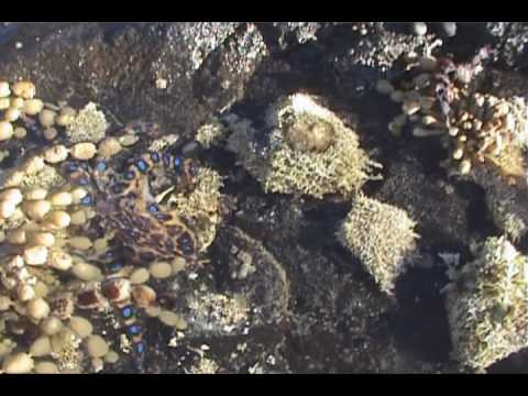 Thumbnail: Deadly Blue Ring Octopus Found in Rock Pool
