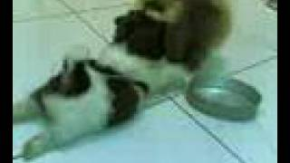 Cute Puppies : Shih Tzu Vs Pomeranian