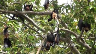 Fruit Bats hang upside down from a tree
