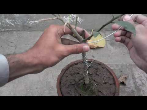 How To Bonsai Lemon Tree |Starting A Bonsai | Wireing The Bonsai Tree  (Urdu/Hindi)