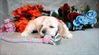 This Video Previously Contained A Copyrighted Audio Track. Due To A Claim By A Copyright Holder, The Audio Track Has Been Muted.     Cocker Spaniel Puppies For Sale **www.maryscockerhaven.com** 719-306-8118