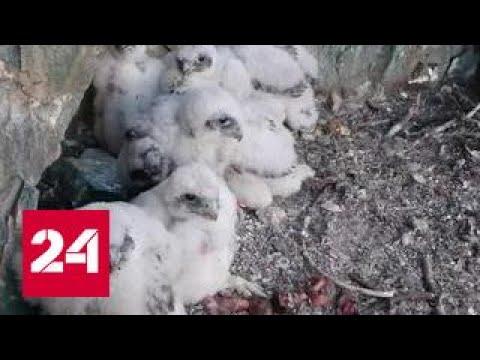 Ученые подкидывают птенцов в гнезда соколов-балобанов